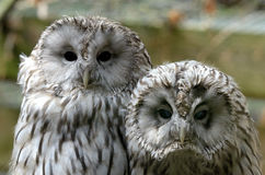 Ural owl (Strix uralensis) stock photography