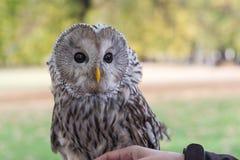 The Ural owl, Strix uralensis. Portrait of The Ural owl, Strix uralensis royalty free stock image