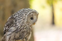 The Ural owl, Strix uralensis stock images