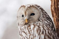 Ural owl strix uralensis portrait. Ural owl strix uralensis with snow on face portrait. Cute large forest light bird in wildlife royalty free stock photos