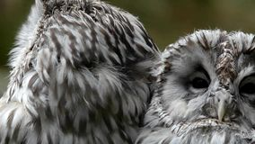 Ural owl (Strix uralensis). A portrait of two stock video footage