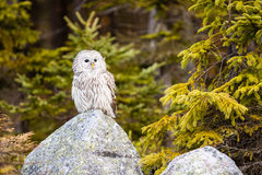 The Ural Owl Strix uralensis Royalty Free Stock Photography