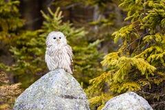 The Ural Owl Strix uralensis. The Ural Owl or Strix uralensis on the rock royalty free stock photography