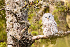The Ural Owl Strix uralensis Royalty Free Stock Photos
