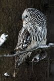 Ural owl Strix uralensis sit on branch with prey. Ural owl Strix uralensis with catched prey on branch in winter stock photos