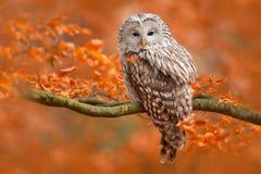 Ural Owl, Strix Uralensis, Sitting On Tree Branch, At Orange Leaves Oak Forest, Sweden Stock Photos
