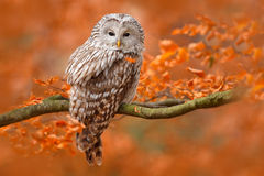Ural Owl, Strix uralensis, sitting on tree branch, at orange leaves oak forest, Sweden royalty free stock photography