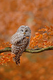 Ural Owl, Strix uralensis, sitting on tree branch, at orange leaves oak forest royalty free stock photo