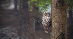 Ural owl, Strix uralensis, sleeping in a forest hidden by a tree. Nocturnal bird in natural environment. Relaxed animal in nature stock photography