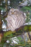 Ural owl Strix uralensis. In the animal enclosure in Neuschönau in the Bavarian Forest National Park in Bavaria, Germany stock photo