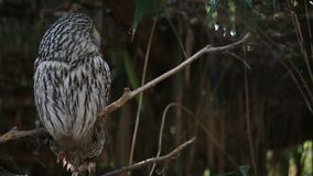 Ural Owl Strix Uralensis. On the branch stock footage