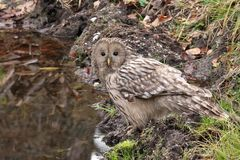 Ural Owl, Strix uralensis. In the wild, near a lake, in a forest from Romania stock images