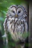 Ural owl (Strix uralensis). Wildlife animal royalty free stock image