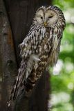 Ural owl Strix uralensis. Wildlife bird stock photos