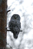 Ural owl on the tree Royalty Free Stock Photos
