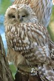 Ural owl. Sitting on the stub Stock Images