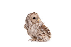 Ural Owl on the white background Royalty Free Stock Photos