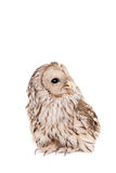 Ural Owl on the white background Stock Image