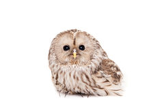 Ural Owl on the white background Royalty Free Stock Image