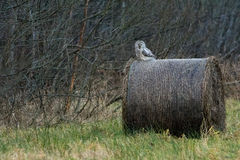 Ural Owl. Wild Ural Owl on a hay ball in winter Stock Image