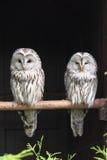 Ural Owls. (Strix uralensis) sitting on branch stock image