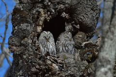 Ural Owls in a Tree. Two Ural Owls sat in a tree in Tsurui Japan in the Winter Stock Images