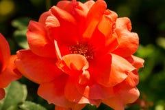 The Ural scarlet rose Stock Images