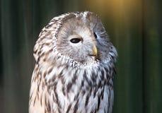 Ural sowy obsiadanie na gałąź Piękna sowa Zdjęcie Royalty Free
