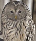 Ural sowy strix uralensis zdjęcie royalty free