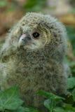 Uralensis d'Ural Owl Strix d'enfant photographie stock