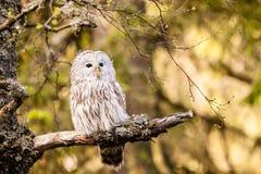 Uralensis van Ural Owl Strix royalty-vrije stock fotografie