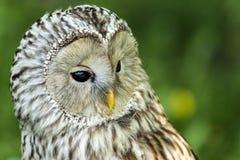 Uralensis van Ural Owl Strix stock foto