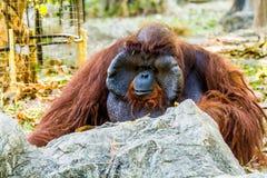 Urangutan in chiangmai Zoo chiangmai Thailand Lizenzfreies Stockfoto