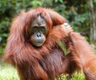 Orangutan. Urangutan is endangered in indonisia Royalty Free Stock Image
