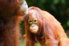 Orangutan. Urangutan is endangered in indonisia Royalty Free Stock Photo