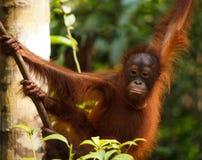 Orangutan. Urangutan is endangered in indonisia Royalty Free Stock Photography