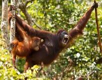 Urangutan. Is endangered in indonisia Stock Photography
