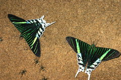 Urania butterflies. And ants on sand Stock Image