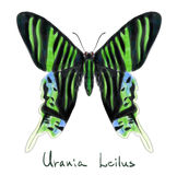 Urania Leilus da borboleta. Imitação da aguarela. Fotos de Stock