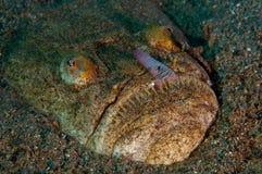 Uranoscopus scaber stock afbeeldingen