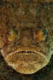 Uranoscopus scaber Stock Photo
