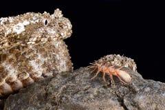 urarachnoides Araignée-coupés la queue de Pseudocerastes de vipère à cornes Image stock