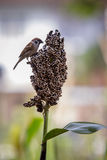 Urasian tree sparrow and grains natural wild life Royalty Free Stock Images