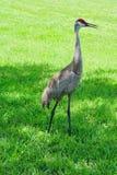 Żuraw na obszarze trawiastym, Florida, usa Obraz Royalty Free