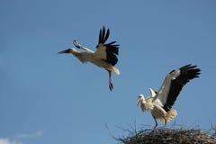 żurawia lot Zdjęcie Royalty Free