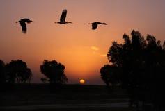 Żurawie latają przeciw zmierzchowi Obrazy Stock