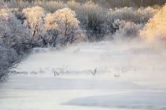 Żurawie w mgle: Dźwigowy taniec w rzece Fotografia Royalty Free