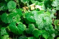 Urbain asiatica de Centella de nom de Tiger Herbal Scientific, flore herbacée d'APIACEAE de nom de famille était comme depuis de  photographie stock