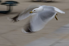 Urban Bird in Flight. A sneaky urban pigeon flies quickly by a popular city tourist attraction royalty free stock images