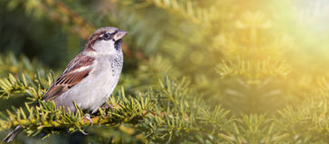 Urban bird - sparrow Royalty Free Stock Photography